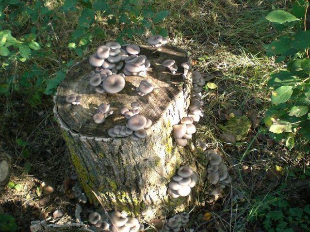 Как выращивать грибы вешенки в домашних условиях на пеньках